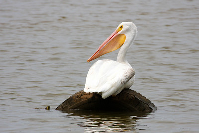 Pelican, Turtle and Tire