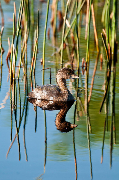 Pied- Billed Grebe