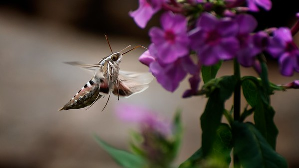 Sphingidae - Sphinx Moths