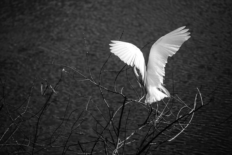 Gatorland 237 A<br /> <br /> A Great White Egret grooms itself on some branches at Gatorland. I personally love the contrast between the bird's wings and the dark waters below.<br /> <br /> This image can also be found in the Florida gallery, via Places.