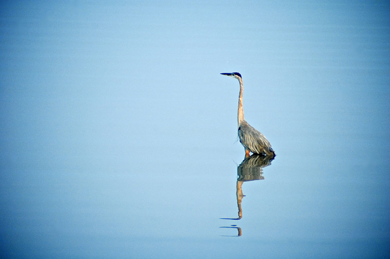 Great Blue Heron (Ardea herodias)<br /> Craney Island, Virginia, USA<br /> IUCN Status: Least Concern