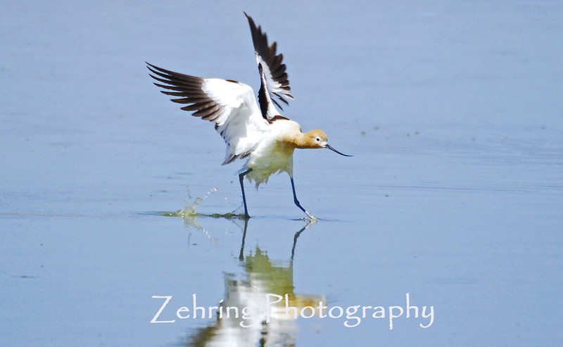 """touch down"" -  this avocet appears to be walking on water as it comes in for a landing."