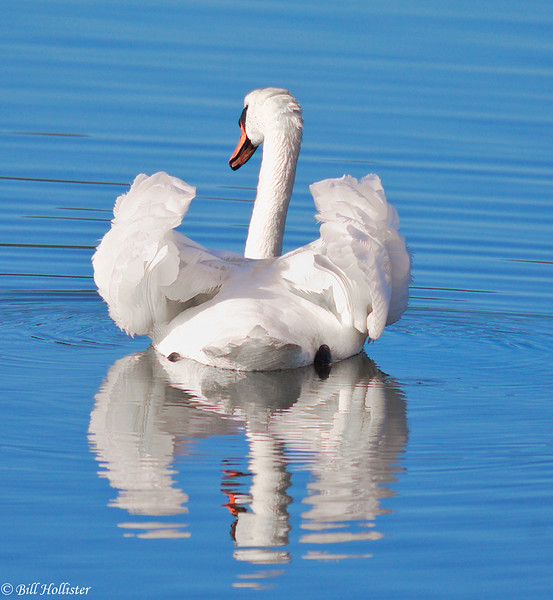 Mute Swan with wings up moving away-2