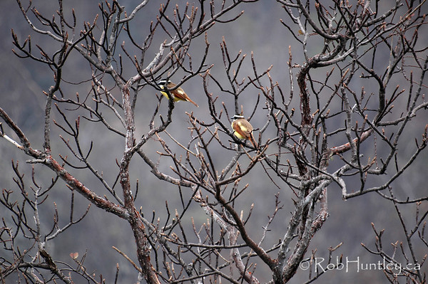 Leafless trees during the hot Mexican dry season. A pair of Lesser Kiskadees are sitting in the branches. (Pitangus lictor). This is in Huatulco, Mexico.  © Rob Huntley