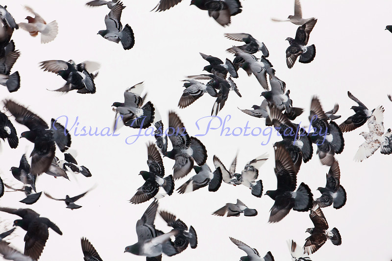a passle of pigeons
