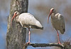 White Ibis, Corkscrew Audubon Sanctuary, Florida