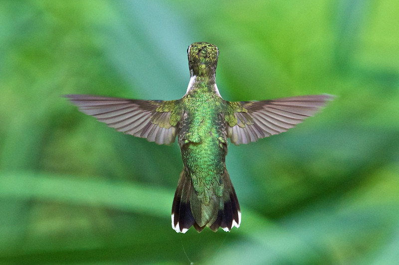 Female Rubythroated Hummingbird, Rockville, Maryland