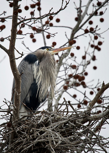 Great Blue Heron on nest at Cove Creek Park 23 Jan 2011