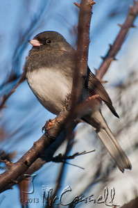 Proud Junco