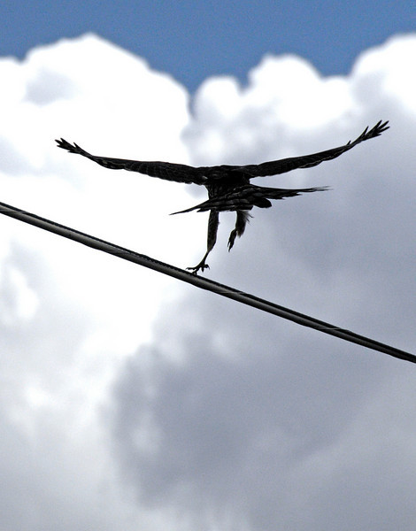 Hawk on a Wire - Aug 29, 2010