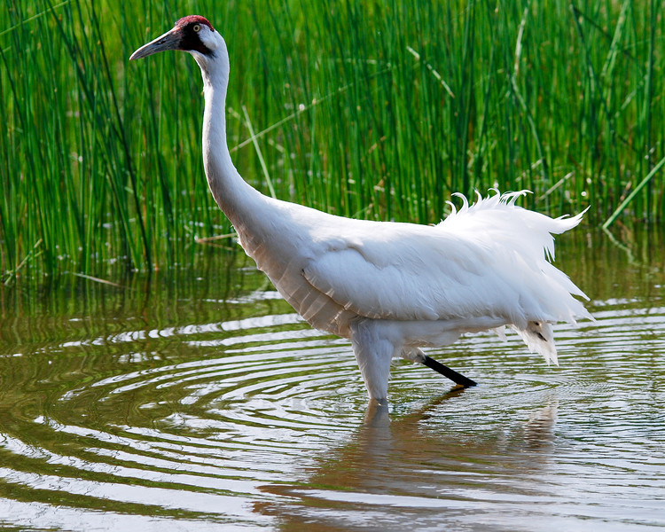 Wading Whooper