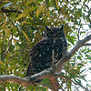 Mama Spotted Eagle Owl