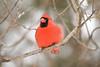 Cardinal - March 2008 - Sylvania, OH