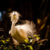 The Mating Dance of the Snowy Egret