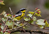 Magnolia Warbler - May 2008 - Magee Marsh