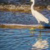 Snowy Egret Walking the Shoreline