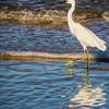 Snowy Egret Walking the Shoreline