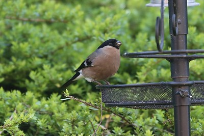Female Bullfinch eats with more dignity