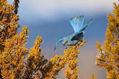 Bluebird 2870