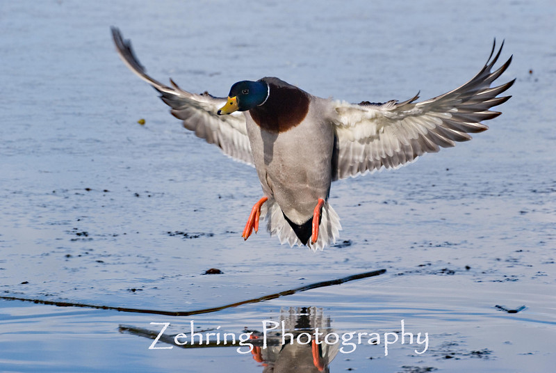 A male mallard slowing down for an icy run-way.