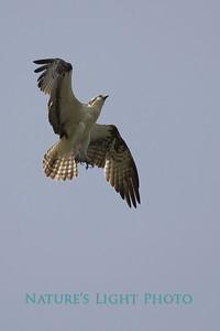 Osprey Braking, Dunedin, FL