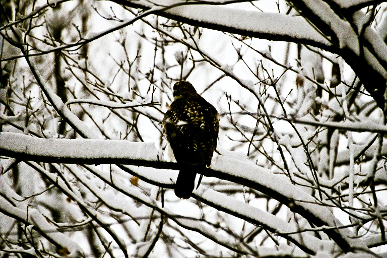 Redtail in snow butt shot.