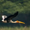 Painted Stork 4