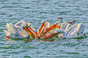 White Pelican feeding at Bodega Bay #29
