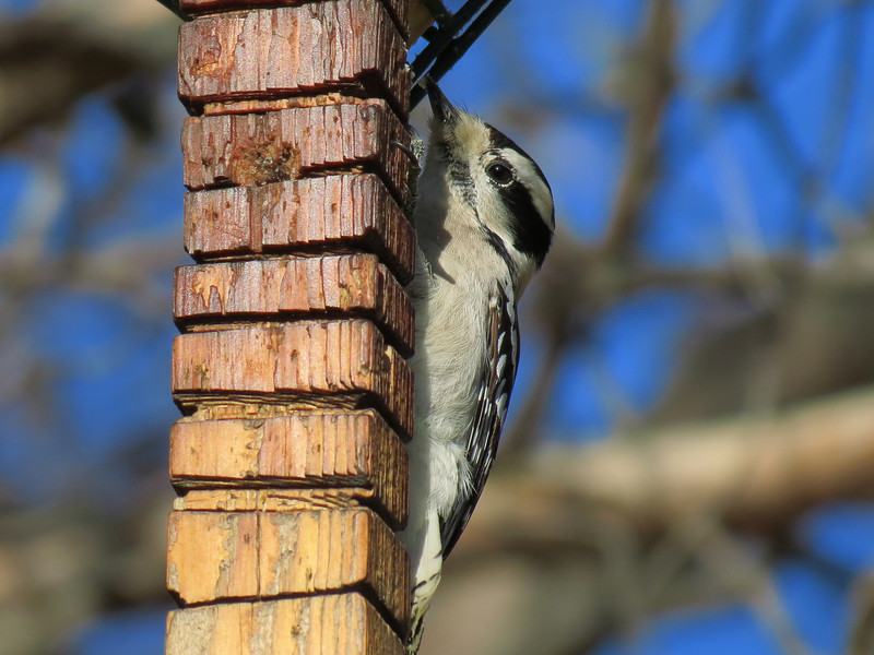 Downy Woodpecker on November 28.