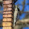 Downy Woodpecker on November 28.