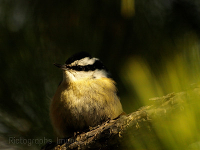 A Nuthatch In A Tree, Rictographs Images