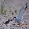 Common Tern and Chick<br /> <br /> This photograph is protected by the U.S. Copyright Laws and shall not to be downloaded or reproduced by any means without the formal written permission of Bob Arkow Photography.