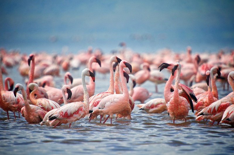 Lesser Flamingos (Phoeniconaias minor)<br /> Lake Nakuru National Park, Kenya<br /> IUCN Status: Near Threatened (trend: decreasing)