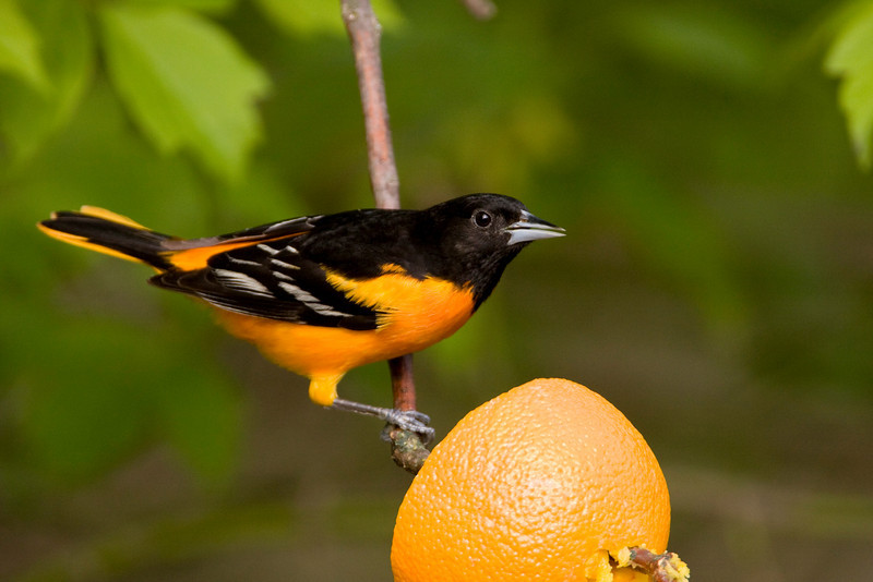 Oriole - May 2008
