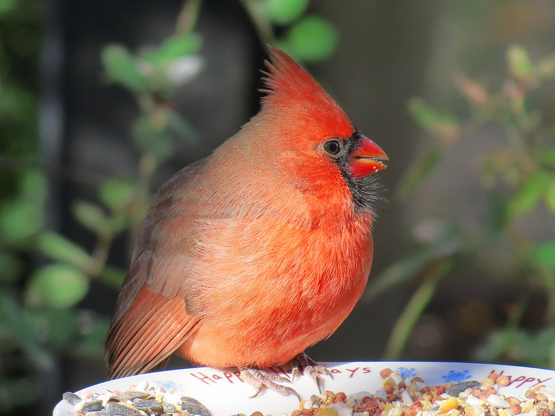 A Cardinal fluffs up its feathers to keep the cold out.