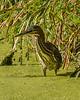 Green Heron Wading