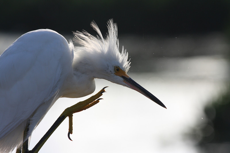 Egret thinkers pose, Green Cay wetlands
