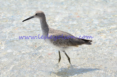 Willet in the warm waters of Florida.