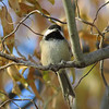 Chickadee in the willow tree on November 28.<br /> This little bird is holding a sunflower seed in its right claw and<br /> has been pecking away at it.
