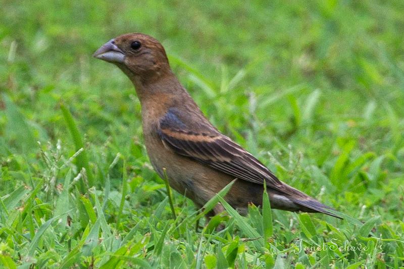 IMAGE: http://jschove.smugmug.com/Nature/Birds/i-HmF9RC4/0/L/Blue%20Grosbeak_8305-L.jpg