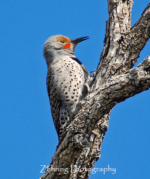 Male flicker sends out mating calls looking for a prospective partner.