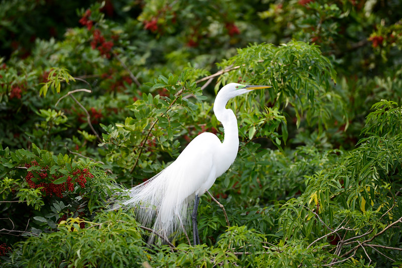 Gatorland 525 A<br /> <br /> A Great White Egret at Gatorland.<br /> <br /> This image may also be found in the Florida gallery, via Places.