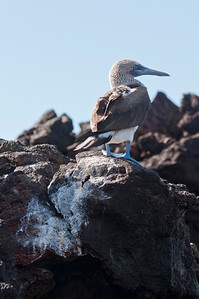 Blue Footed Boobie Bird in Galapagos Islands