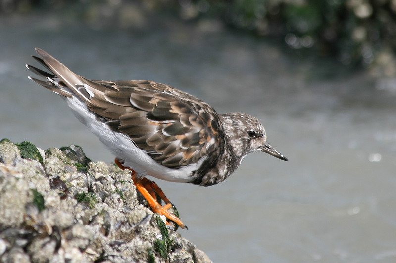 Steenloper - Arenaria interpres - Ruddy Turnstone