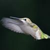 """""""  Caught in Mid Air  """"  Humming Bird in Flight"""