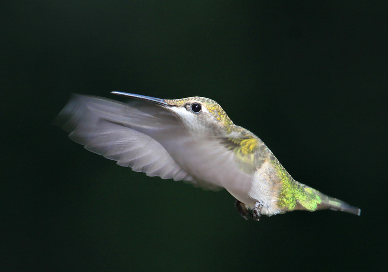 """  Caught in Mid Air  ""  Humming Bird in Flight"