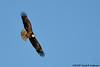 Bald Eagle soaring<br /> Potomac River<br /> Fairfax County, Virginia<br /> February 2009