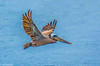 Brown Pelican flying over Bodega Bay 6-4-14 #20