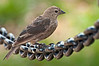 Cowbird, moulting, near US Capitol Mall, 7/20/10