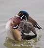 """Wing-flap"" of a male wood duck"